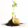Restrictions For Growers Who Grow Potatoes On Am Contaminated Soil